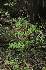 CAC038451a (jerryoldenettel) Tags: flower nm wildflower baneberry actaearubra actaea 12016 cibolaco zunimts hausnercanyon magnoliopsidaranunculalesranunculaceae