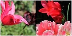 Ladew Topiary Gardens ~ HBW! (karma (Karen)) Tags: flowers gardens diptych dof tulips bokeh maryland monkton ladewtopiarygardens 4spring hbw cmwd bokehwednesdays harfordco