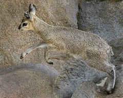 The Reach (Penny Hyde) Tags: sandiegozoo klipspringer babyanimal