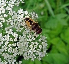 Buzzworks (Bricheno) Tags: macro insect scotland escocia szkocja renfrew hoverfly schottland scozia cosse  esccia   bricheno scoia