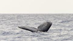 Whale Tail IV (rschnaible) Tags: ocean life sea wild usa animals hawaii us tour pacific wildlife sightseeing maui tourist whale humpback