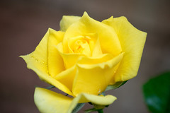 Yellow rose in our garden flowered in winter (Merrillie) Tags: flowers plant flower macro nature rose yellow garden outdoors photography petals flora nikon australia nsw newsouthwales centralcoast woywoy d5500 nswcentralcoast centralcoastnsw