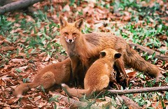 feeding time (cseager40) Tags: film feeding den fox kits