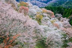 Yoshino Mountain /  (Cheng-Yang, Chen) Tags: japan cherry blossoms sakura nara