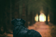 This way? (Pog's pix) Tags: trees light dog pet black woodland dark lost scotland woods waiting moody gloomy looking cathedral bokeh path walk tunnel spooky textures poppy mysterious fenwick walkies ayrshire intothelight towardsthelight eastayrshire craufurdlandestate