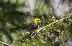 Black-throated Green Warbler (Thickson's Woods) (praja38) Tags: life wood wild tree male bird nature animal pine forest wings woods wildlife caps wing beak feathers feather humour blackthroatedgreenwarbler warbler capricorn conifer