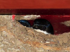 Peekaboo..x (lisa@lethen) Tags: house bird nature martin nest wildlife
