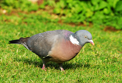 DSC_4706 Pigeon (PeaTJay) Tags: birds outdoors reading pigeon pigeons tamron berkshire gardenbirds lowerearley nikond300s