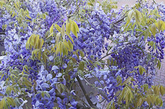 Wisteria. Blooming marvellous this year! (Rich Saunders) Tags: blue flower garden blossom gardening blossoms flowering wisteria racemes