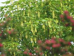 Q5283774 (bratispixl) Tags: germany oberbayern tele insekt fliege schrfentiefe baumblte ahorn chiemgau lichtwechsel traunreut rotdorn fokussierung stadtrundweg bratispixl gelbsamig