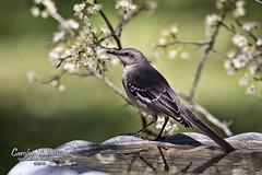 Mockingbird on Birdbath