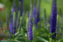 Veronica (Shastajak) Tags: flower veronica mygarden veronicaspicata bluebouquet
