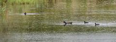 5DSA0858_Lr6_7s1s (Richard W2008) Tags: cathkinmarshwildlifereserve scottishwildlifetrust scotland nature flora fauna