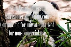 2010 Panda Feeding.jpg (G. Frank Peterson) Tags: sandiegozoo 2010 pandabear