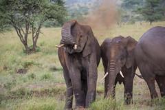 Elephants Dust Bath (Nigel Nudds Photography) Tags: elephant rain tanzania shower monkey rainbow buffalo lion butterflies pelican leopard zebra crocodile antelope cheetah giraffe baboon serengeti hyrax vervet hippos dikdik agama topis