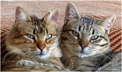 Nicht Stren * Don't disturb * No molestar *   . P1280758-001 (maya.walti HK) Tags: cats animals tiere flickr gatos animales katzen 2016 glggli panasoniclumixfz200 copyrightbymayawaltihk fderehx 290616