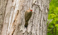 7K8A1664 (rpealit) Tags: mountain bird nature scenery wildlife management area sparta common flicker