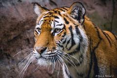 Tiger / Tigre (Doris & Michael S.) Tags: animals zoo tiere tiger tigre tiergarten