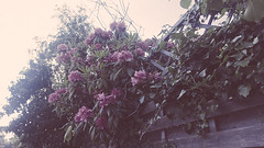 (Elise Xavier) Tags: pink flowers flower nature leaves photography pretty purple urbannature pinkflowers