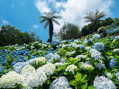 Yohena Ajisai (Hydrangea) Garden (Eiji Anzai) Tags: travel blue summer vacation sky tourism nature beautiful japan clouds relax landscape asian island photography japanese countryside scenery asia day view natural outdoor south country peak sunny nobody tourist southern tropical  destination nippon okinawa traveling  ryukyu okinawan