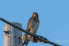 June 11, 2016 - A watchful Swainson's Hawk in Morgan County. (Tony's Takes)