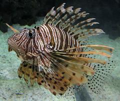 lionfish (lisafree54) Tags: ocean sea brown white fish nature animal aquarium marine wildlife free lionfish striped spiny poisonous marinelife cco freephotos