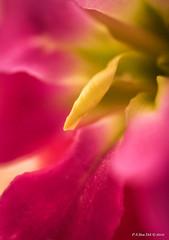 DSC05193 (peter3400) Tags: pink flower macro up close sony sonyalpha slta77