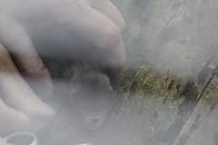 IMG_4944 (Mercar) Tags: european mink hiiumaa lko euroopa mustela naarits lutreola