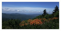 Roan Mountain Azaleas (Joe Franklin Photography) Tags: flowers mountains floral landscape nc spring hiking northcarolina azalea appalachiantrail westernnorthcarolina roanmountain nativeazalea joefranklin almostanything wildazaleas wwwjoefranklinphotographycom