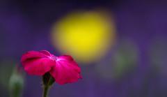 Under The Poppy Moon (AnyMotion) Tags: pink flowers plants nature floral colors yellow garden colours purple blossom bokeh frankfurt natur pflanzen magenta blumen gelb blte garten farben violett dustymiller 2016 welshpoppy lychniscoronaria anymotion 7d2 vexiernelke silenecoronaria kronenlichtnelke dalmatianbellflowers canoneos7dmarkii