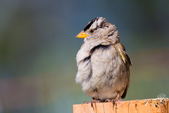 White-crowned Sparrow (wanderinggrrl) Tags: wild portrait brown white male bird nature animal female garden spring branch sitting singing post background wildlife sparrow perched songbird picofweek crowned whitecrowned shutterstock year4week56