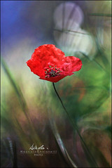 Magic poppy (BlueMaury) Tags: light bokeh surreal natura poppy fiore papavero helios44258mm citrit maurizioantonetti