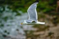 10072016DSC_1011.jpg (Ignacio Javier ( Nacho)) Tags: flickr aves gaviotas facebook faunayflora
