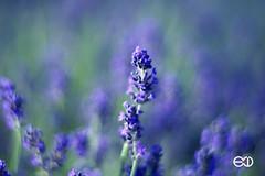 Planar 85mm 1.4 C/Y (Ney Bokeh) Tags: flowers dof bokeh lavender 85mm mf cy planar carlzeiss