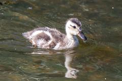 Baby mallard (zxorg) Tags: babyduck duck mallard bird