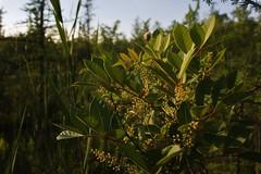 Waterloo 6/17/16 (fordc63) Tags: park plant michigan sumac poison bog wetland