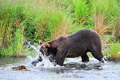 Kodiak Brown Bear Fishing for Salmon (esnow75) Tags: bear alaska fishing kodiak brownbear omnivore