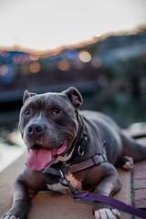 Say Cheese (Isaac Guerrero) Tags: bluepit dog relaxing pitbull mutt summer layingdown doggie fellspoint