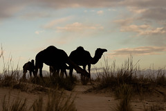 Desert family (in explore) (Chrif Benabid) Tags: light sky sahara silhouette landscape algeria desert camel camels goldenhour