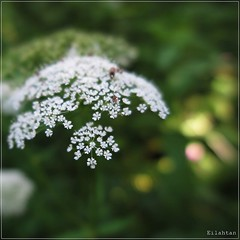 Little world (nathaliedunaigre) Tags: flowers macro nature forest fleurs square bokeh details fort insectes carr sousbois dtails ombellifre