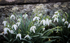 Snowdrops (S's images) Tags: snowdrops white green graveyard