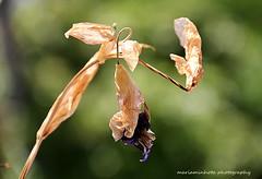 Ephemere Life (mariaminhota) Tags: flower lily purplelily endoflife dried up plant sunlight macro canoneos70d canonlens 18200mm beautiful mariaminhotaphotography beauty naturebeauty nature naturalpainting naturalart light leaves