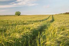 The Growing Season (Glenn D Reay) Tags: tree field crops barley goldenhour solitary alone landscape light sun pentaxart pentax k30 sigma1770hsm hoyapolariser glennreay