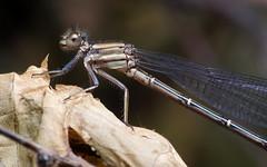 Damsel on a Leaf (Doundounba) Tags: insect montral pentax dancer qubec demoiselle damselfly insecte k3 argie odonata argia dcr250 raynox argiamoesta parcnaturedelledelavisitation pentaxdfa100mmf28macro