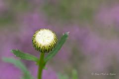 Petite Marie (Sous l'Oeil de Sylvie) Tags: bokeh fleur flower mauve blanc uin june printemps spring dof pdc profondeurdechamp green vert purple white sousloeildesylvie pentax ks2 tamron90mm
