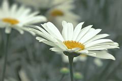 Daisies (fucsia_7) Tags: flower canon one daisy margarita