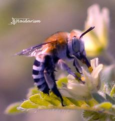 A B Looks Like C (haidarism (Ahmed Alhaidari)) Tags: flower insect bug animal bee outdoor nature bokeh depthoffield sonya65 macro macrophotography ngc