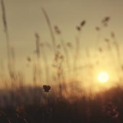 schwindelkuss. (sommerpfuetze) Tags: sunset sun flower nature yellow square evening sonnenuntergang blossom bokeh grasses blte sonne quadrat grser sommeranfang