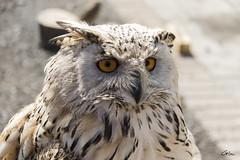 grand duc de sibrie (giloudim) Tags: portrait oiseaux plumes hiboux rapace exterieur sibrie profondeurdechamp canon7dmarkii oiseauxnocturne