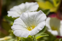 Sous la rose (S@ndrine Nel) Tags: white flower fleur droplets spring flora dof blossom drop dew bloom blanc morningdew belledejour nelsandrine